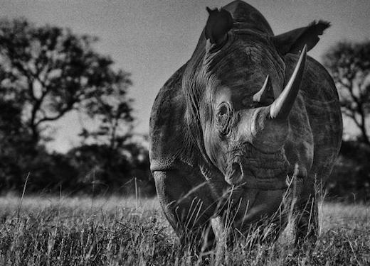 Manyeketi, Rhino 1, 2013